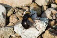 Tachina grossa