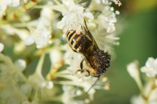 Colletes sp. du groupe succinctus (probablement Colletes hederae)