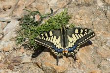 Machaon (Grand Porte-Queue)