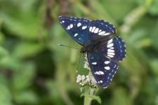 Limenitis reducta