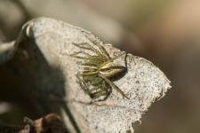 Oxyopes lineatus