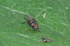 Anthomyia procellaris